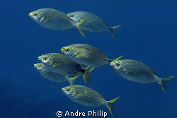 a group of salema porgy by Andre Philip 